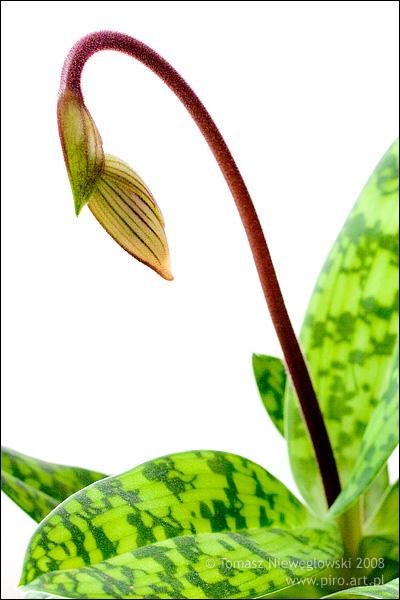 Storczyk, orchidea, Paphiopedillum Callosum