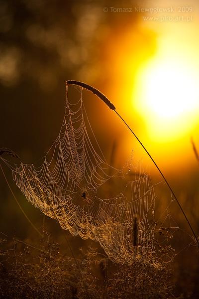 Wschód słońca na Warmii - rosa na pajęczynie