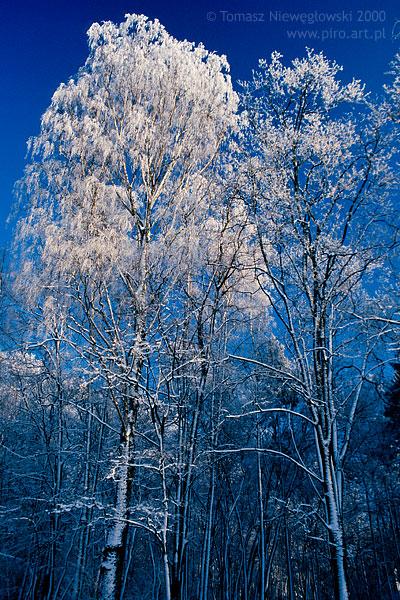 Mroźna zima, oszronione drzewa