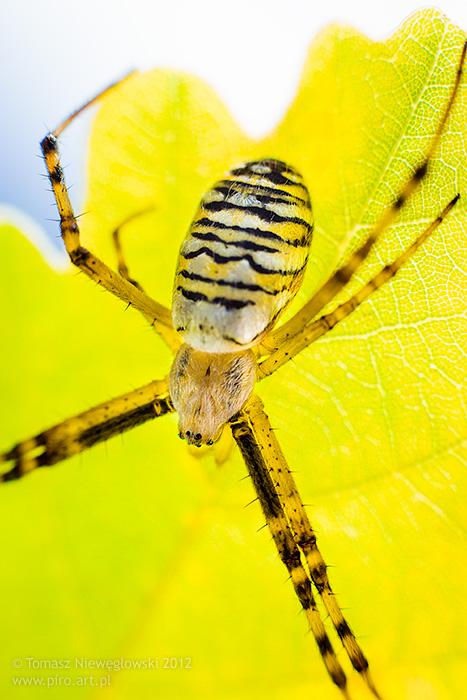 Tygrzyk Paskowany pod liściem dębu