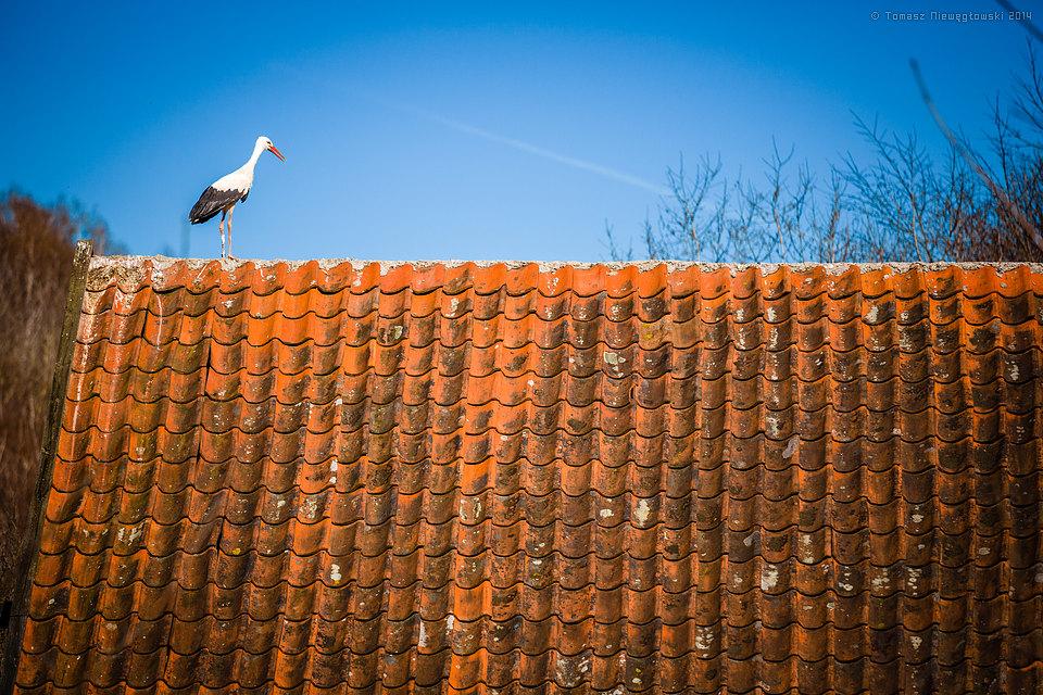 Bocian na dachu