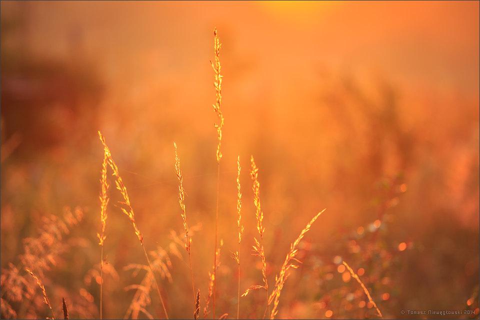 Trawy o wschodzie słońca