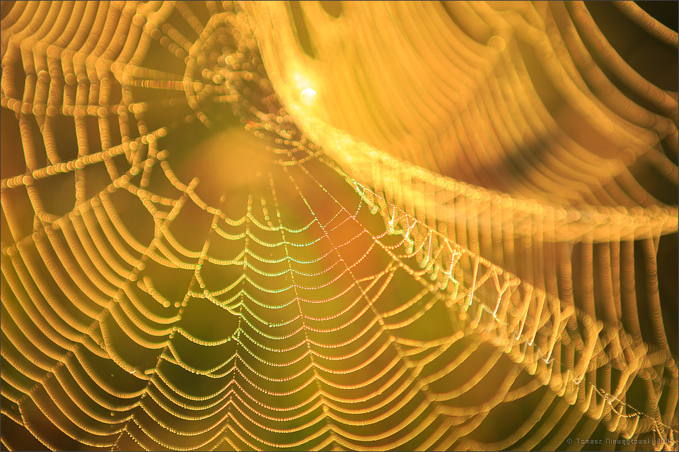 Rosa na pajęczynie o wschodzie słońca